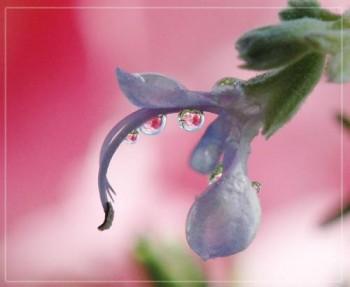 цветок розмарин применение