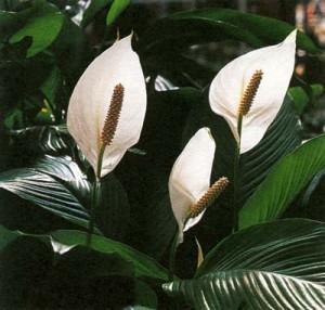 все виды цветка спатифиллума