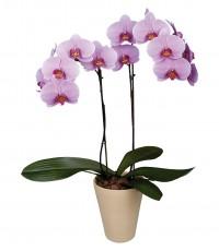 купить орхидеи оптом