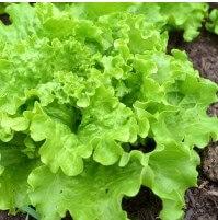 листовой салат